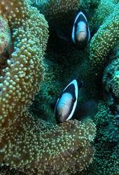BD-090924-Bunaken-9243781-Amphiprion-polymnus-(Linnaeus_v1.-1758)-[Saddleback-clownfish]